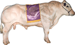 The Belgian Blue Beef Breed