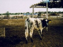 BB X Holstein Trujillo, Peru - Submitted by Jerry Fickel, Representative, Select Sires Central & South America